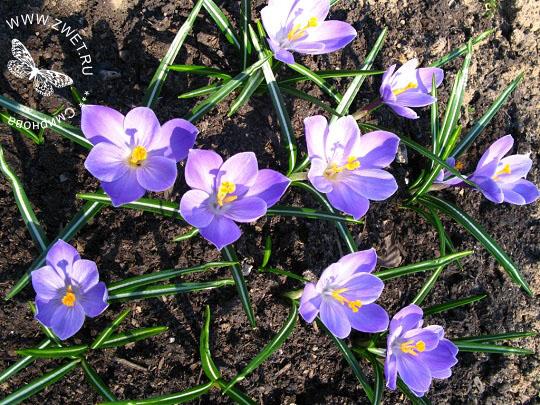 Цветок копытень посадка и уход